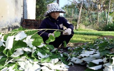 Thu hoạch cây lá gai